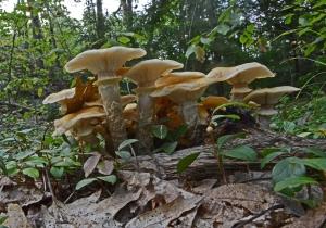 Armillaria mellea, the honey mushroom